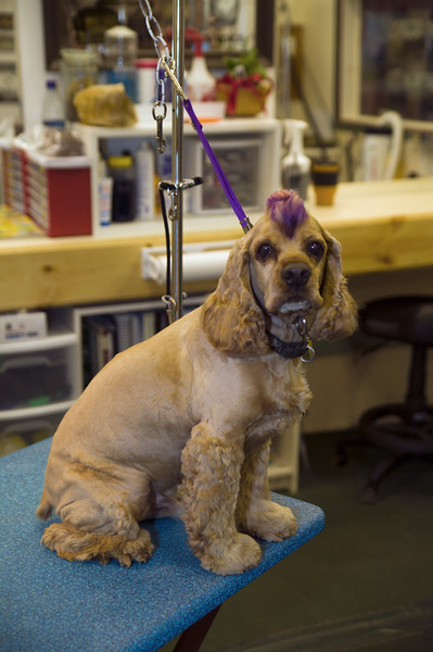 Cocker Spaniel with purple mohawk hair cut waiting for his owner