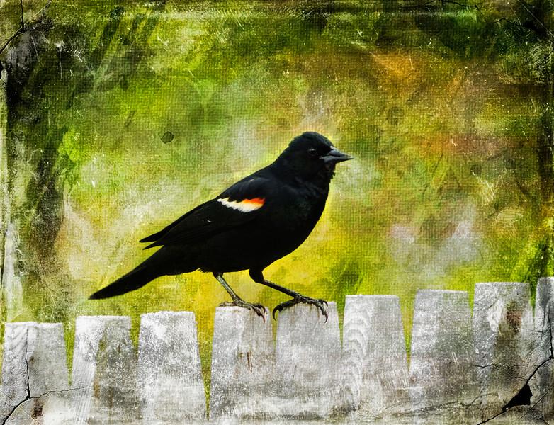 An art photograph of a Redwinged Blackbird perching on a limb.
