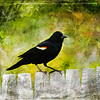 An art photograph of a Redwinged Blackbird perching on a limb.