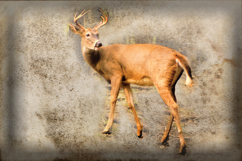 A whitetailed buck.