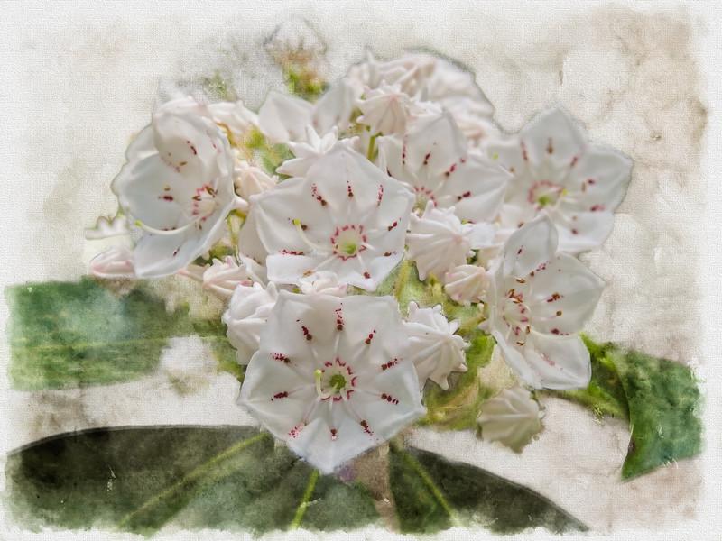 An Art photograph of A group of mountain laurel flowers.