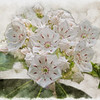 An Art photograph of A group of mountain laurel flowers.