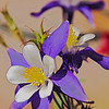 A purple columbine blossom.