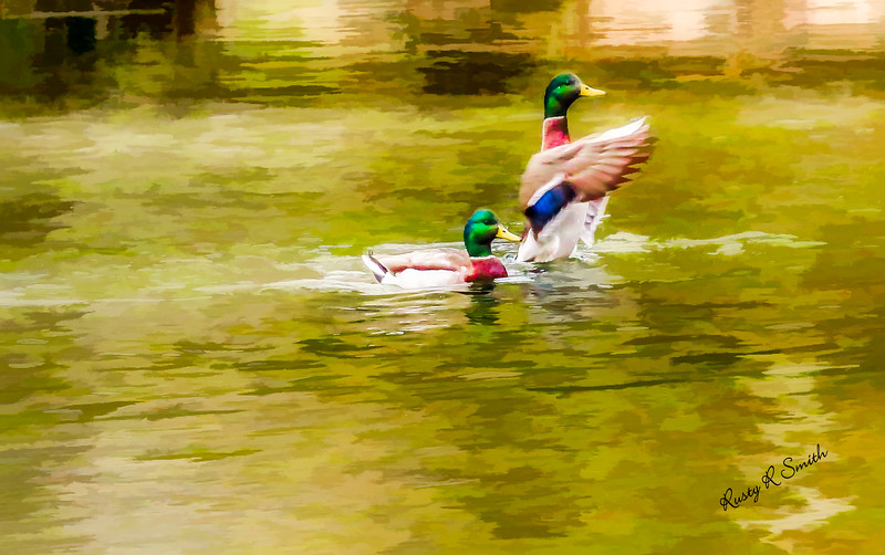 Two male Mallard ducks swimming together one flapping wings.
