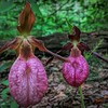 Close view of two beautiful Lady Slippers.