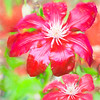 Two Red Clematis in the rain.