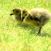 A pair of canada goslings