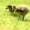 A pair of canada goslings