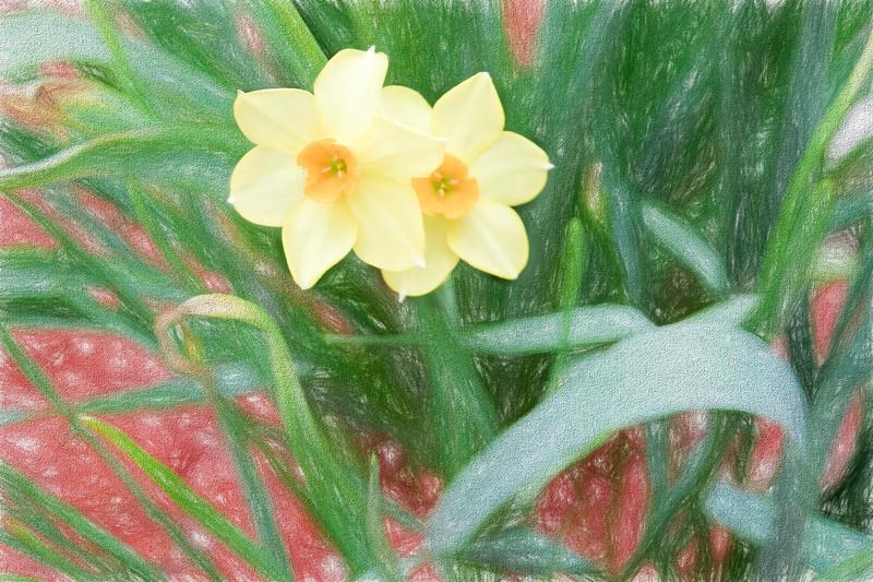Yellow Jonquils