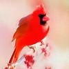 The Male cardinal
