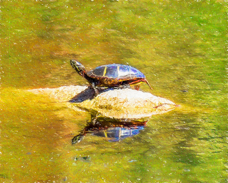 A young painted turtle.