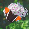 Colorful butterfly on pink and white flowers.