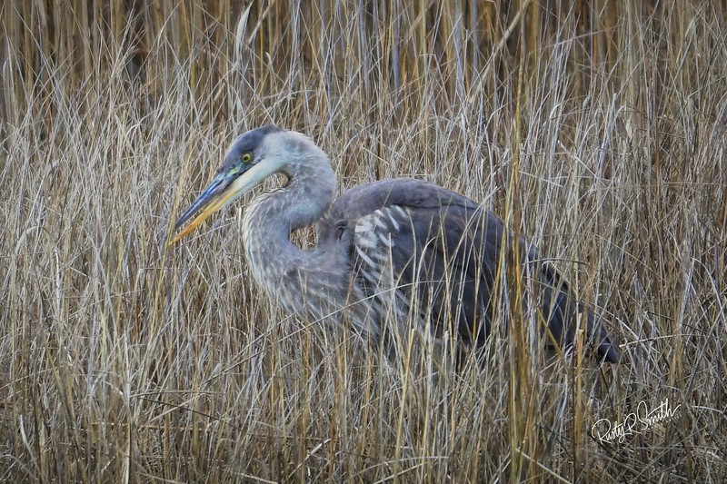 Blue Heron Fishing in the tall grass.