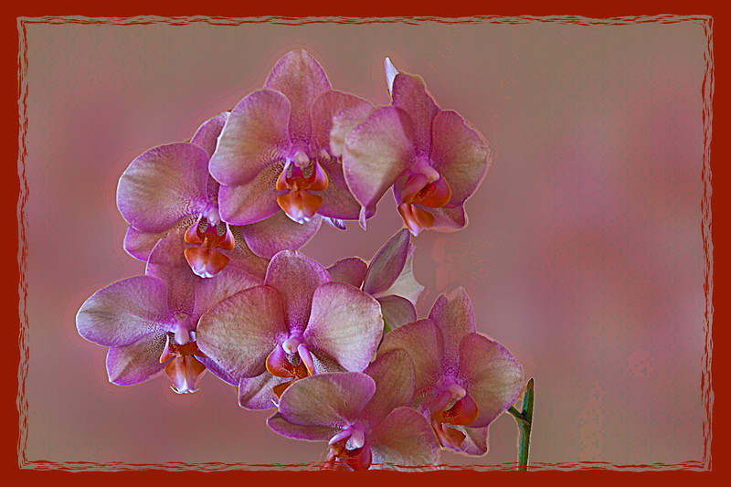 Pretty Pink Orchid