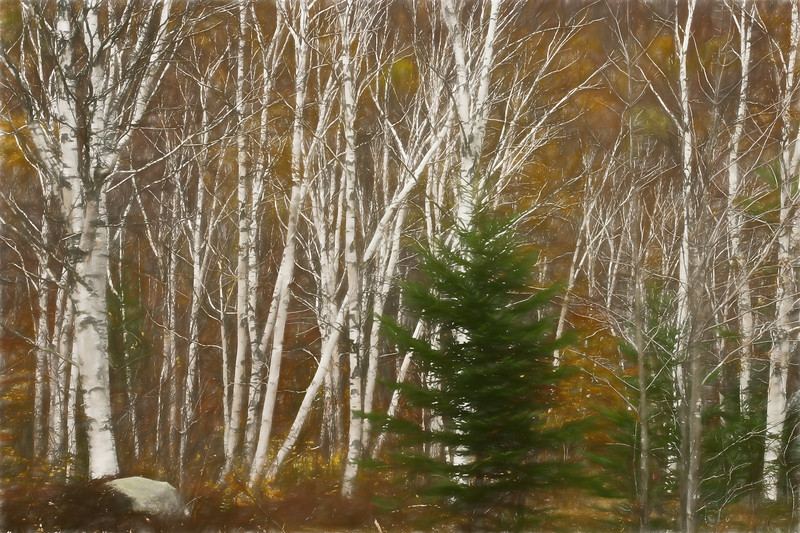 A  stand of white birch trees. A beautiful autumn day.