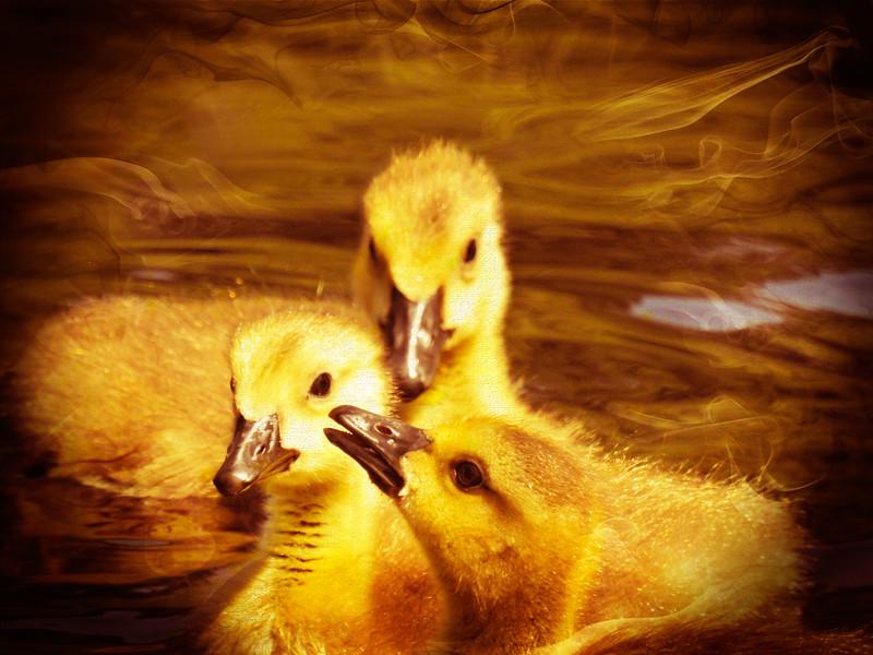 Three fuzzy yellow goseling huddled together.
