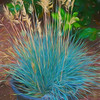 Blue Fescue ornemental grass.