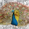 A nature art Photograph of a Peacock Displaying.