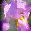 purple iris blossom
