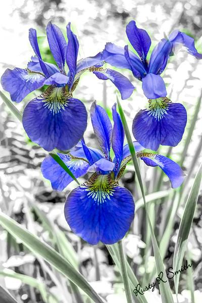 Three small blue Iris.