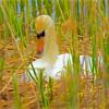 Mute Swan nesting.
