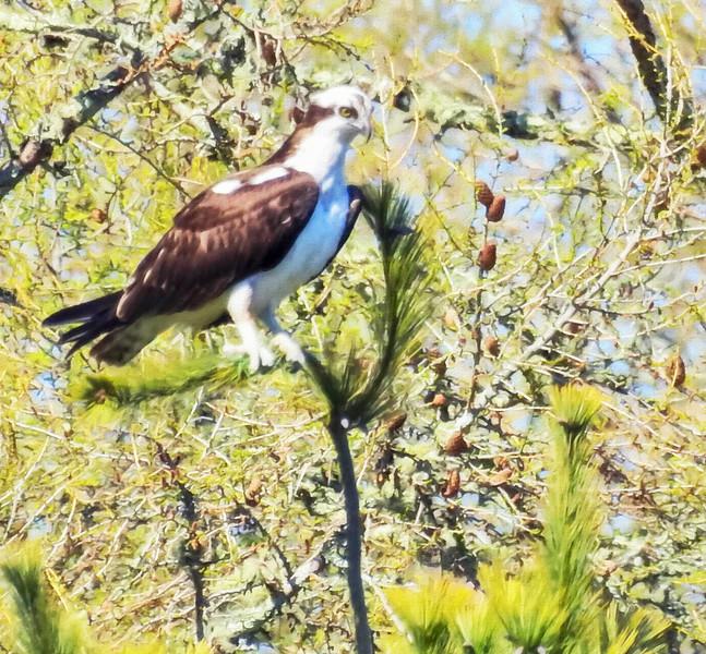 Osprey perching in a tree.