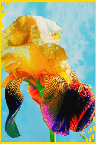 A close view of an Iris blossom