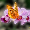Butterfly on purple orchid.