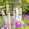 A stand of white birch and pink wildflowers.