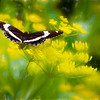A beautiful Swallowtail butterfly on a yellow wild flower