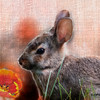 Young Conttontail Rabbit and the Tulip
