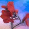 Red Canna  flower.