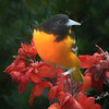 Baltimore oriole perching on Red Canna flower.