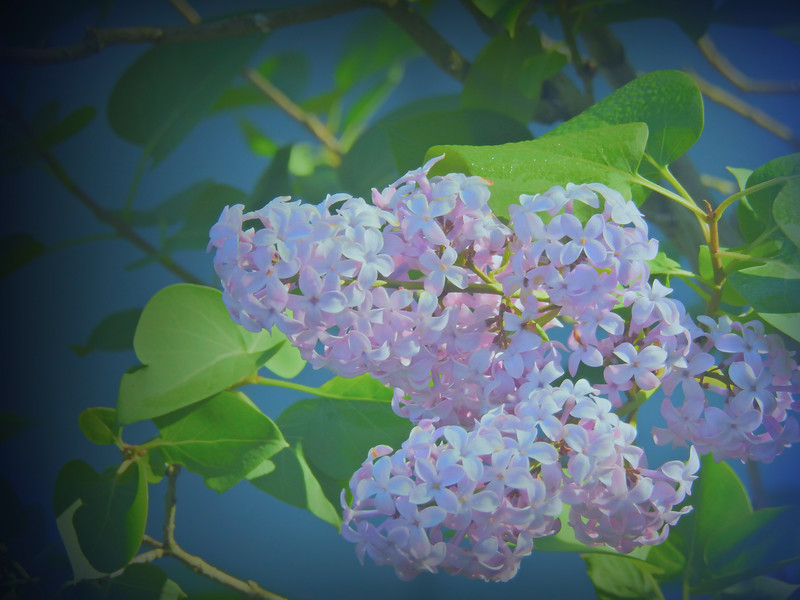 A group of soft pink lilac blossoms