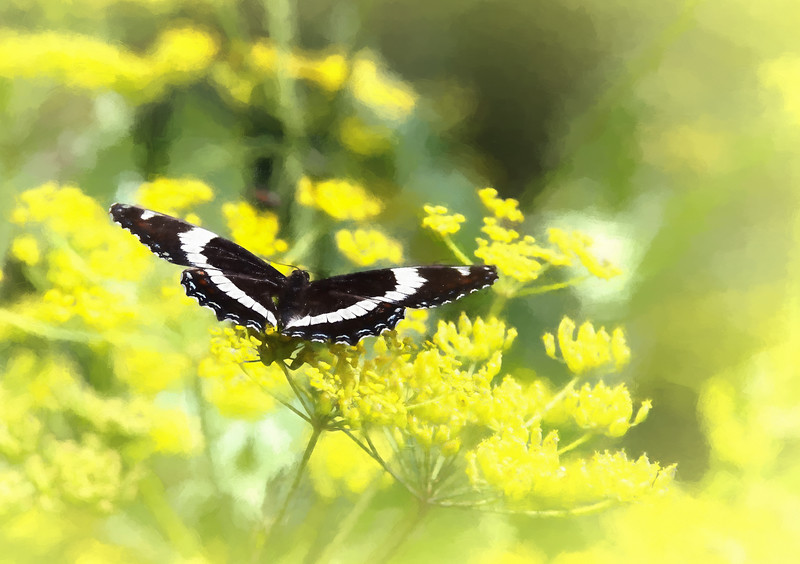 A beautiful butterfly on a yellow wild flower