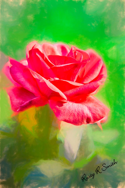 A single soft red rose blossom