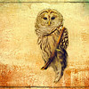 Barred Owl Perching