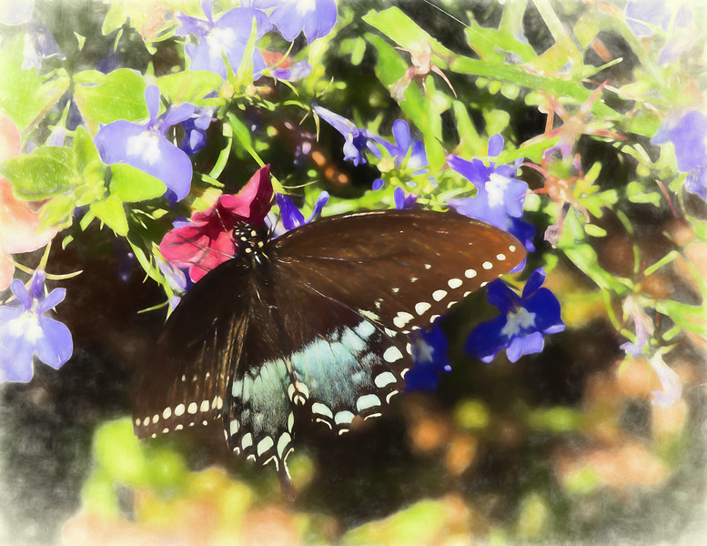 A Black Swallowtail butterfly on a group of red and purple flowers
