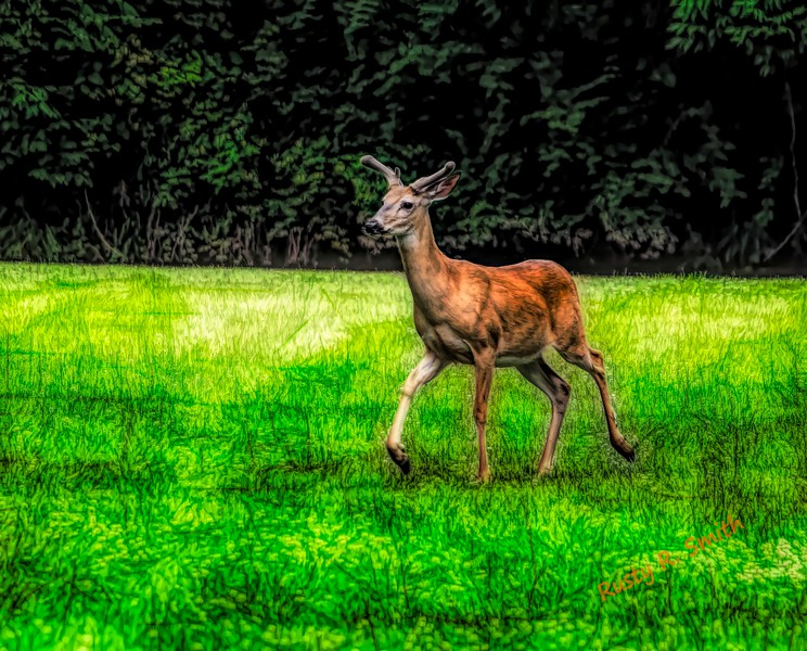 A healthy male white tailed deer with summer horns in velvet.