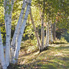 A Digital art photograph of A group of white birch trees