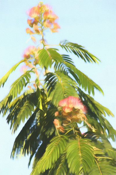 A close view of a Mimosa tree and blossoms.