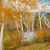 A white birch landscape.