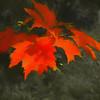 Red  leaf cluster.