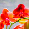 Beautiful Orchid Blossoms