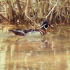 A male woodduck