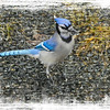 A Digital Art Photograph of a Blue Jay standing on the ground.