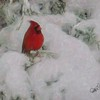 Male Cardinal perching on snow covered juniper branch.