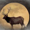 Pennsylvania Bull elk and a full moon.
