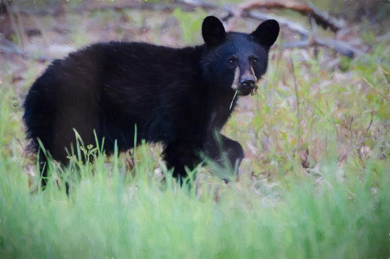 A young Black Bear Feeding alone.
