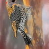 Northern Flicker in warm morning light.
